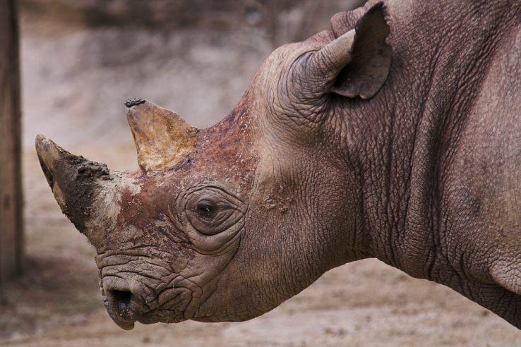 Pembient Rhino Horn